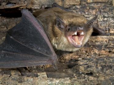 Nietoperz chory na wściekliznę. Wyznaczono obszar zagrożony
