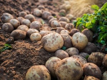 Wady i choroby bulw ziemniaka