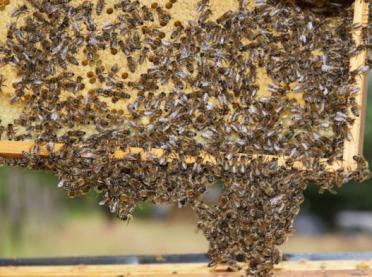 Zgnilec pszczół na Mazowszu. Warto potraktować go poważnie