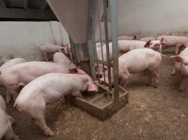 Wzrost cen żywca i optymizm na unijnym rynku wieprzowiny