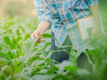 Nowy szkodnik kukurydzy: skoczek kukurydziany