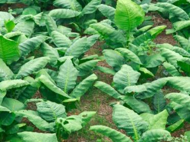 Mozaika tytoniowa na Lubelszczyźnie i w Małopolsce