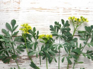 Ruta - zapomniana roślina o nadzwyczajnych właściwościach