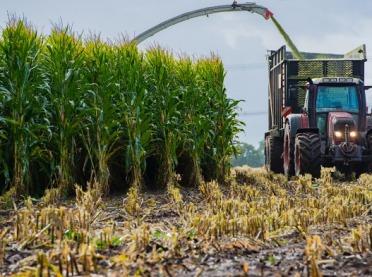Jak określić ilość suchej masy w kukurydzy?