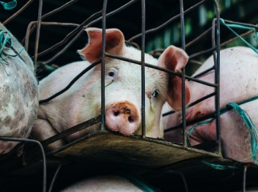 Wysokie ceny wieprzowiny w Unii? Sprzyja spadek pogłowia świń w Chinach