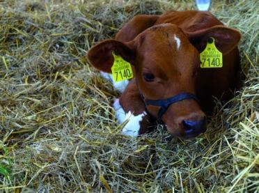 Odchów cieląt a preparaty mlekozastępcze
