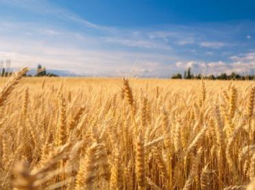 Nowe odmiany zbóż ozimych - podejmij dobrą decyzję!