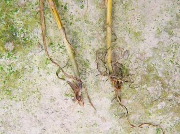 Choroby grzybowe pszenicy ozimej i ich zwalczanie