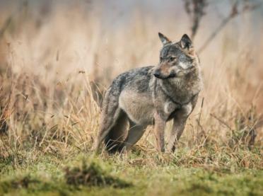 Podkarpaccy rolnicy potrzebują ochrony przed wilkami