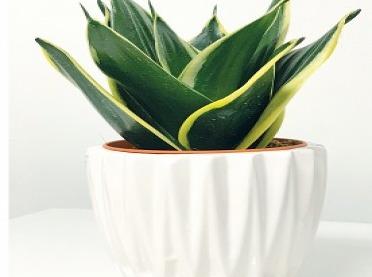 Żelazna roślina, czyli Sansewieria