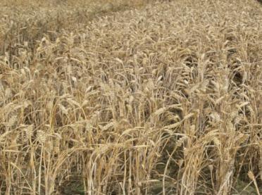 Plonowanie zbóż ozimych w 2019 roku