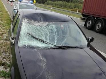 Koń zderzył się z samochodem. Łoś spowodował kolizję...