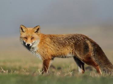 W Małopolsce zaszczepią lisy przeciwko wściekliźnie