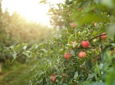 Pora naturalnego wybarwiania jabłek