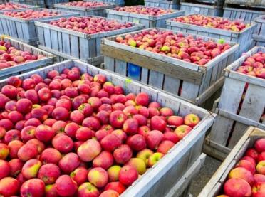 Jabłka w skupach... tanieją