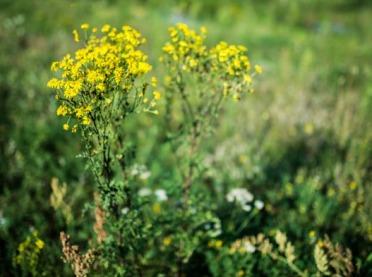 Niebezpieczna roślina na łąkach – Lasy Państwowe przestrzegają!