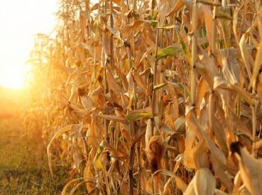 Kukurydza pozostawiona na polach przyciąga dziki