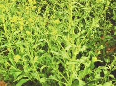 Molibden w odżywianiu roślin