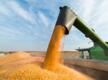 Kukurydziane żniwa w pełni