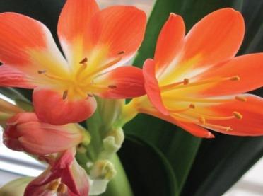 Domowe rośliny doniczkowe - pięknie kwitnąca kliwia