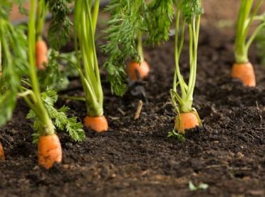 Jak prowadzić ekologiczną uprawę warzyw?