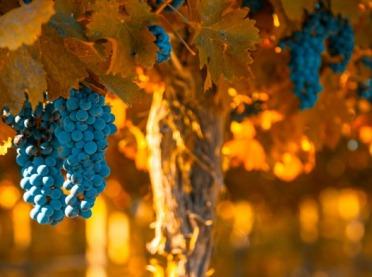 Polskie winnice - o uprawie winogron słów kilka