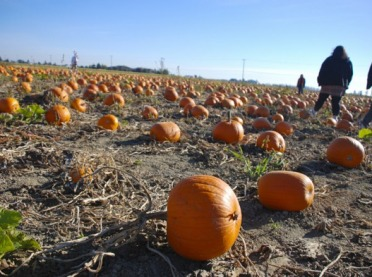 Dynia coraz bardziej popularna wśród rolników i konsumentów