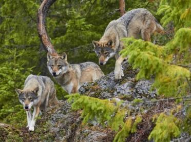 Bieszczady: wataha wilków zagryzła konia