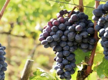 Producenci i przedsiębiorcy wyrabiający wino - pamiętajcie o deklaracji!