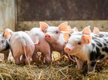 Rolnicy hodują coraz mniej świń - dlaczego?