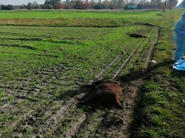 Pięć martwych dzików w jednej linii - zobacz zdjęcie!
