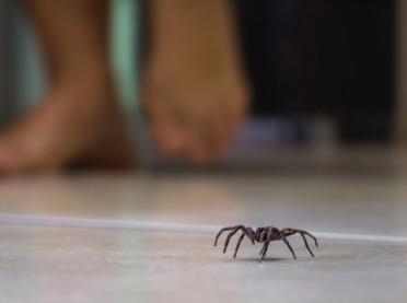 Domowy pająk krzywdy nie zrobi, ale...