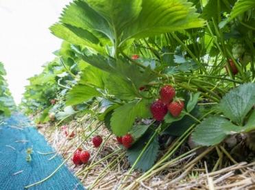 Ekologiczna uprawa truskawek - jaką odmianę wybrać?