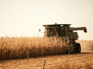Kukurydza poradziła sobie gorzej niż zwykle