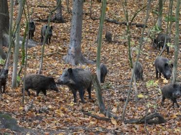 Kolejne przypadki ASF w lubuskim – wojsko szuka padłych dzików