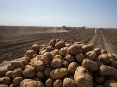 Ziemniaki: wyższy areał, niższe zbiory i rekordowe ceny