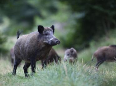 Zakaz wstępu do lasu i alert RCB – ASF w Lubuskiem