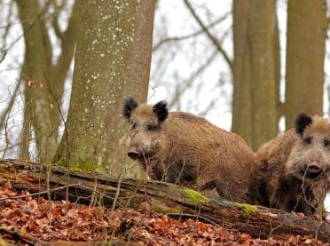 Zakaz polowań zbiorowych na dziki w strefie ASF