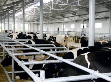 Kalkulacje rolnicze - krowa mleczna