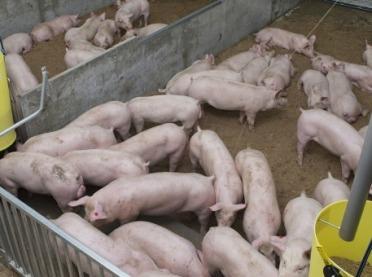 ASF: Wielkopolscy hodowcy świń w panice