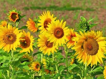 Uprawa słonecznika na kwiat cięty