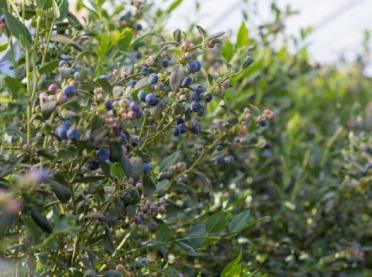 Zakładanie plantacji roślin jagodowych