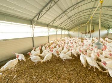 Lubelskie: Ptasia grypa na fermach drobiu - to podtyp niebezpieczny dla ludzi?