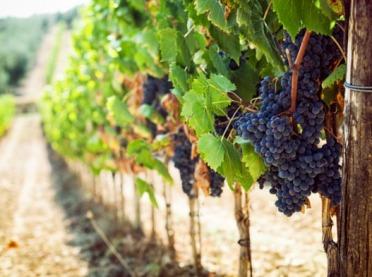Uwaga producenci wina!