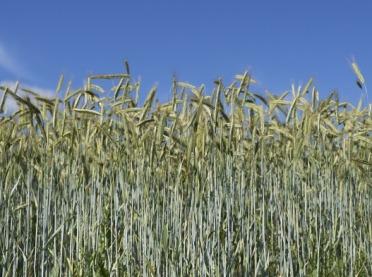 Kalkulacje rolnicze: pszenżyto ozime