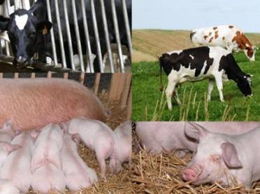 Dopłaty do krów i świń - jakie stawki?