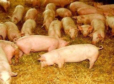 Jak ocenić dobrostan świń w gospodarstwie?