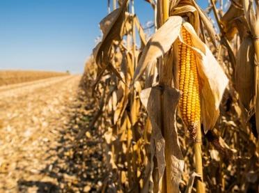 Dobry sezon dla producentów kukurydzy?