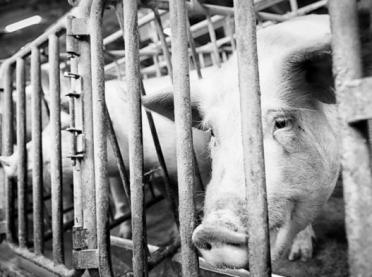 Ubój zwierząt kopytnych poza rzeźnią - praktyczne wskazówki