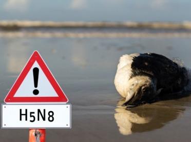 Ptasia grypa atakuje w Niemczech!